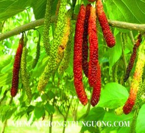20-pcs-bag-Rare-Fruit-Tree-Taiwan-long-mulberry-Seeds-Perennial-Plant-Rare-Beautiful-Slim-Berry-1