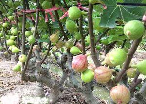 Giống cây sung Mỹ cho quả, siêu ngọt, giống cây trồng kinh tế cao