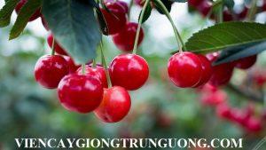 Chuyên cung cấp giống cây Cherry anh đào chuẩn giống giao hàng toàn quốc