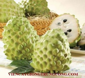 Fresh-Atemoya-Custard-Apple-from-Taiwan