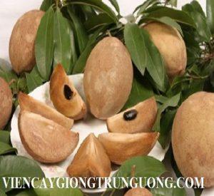 Sapota-fruits