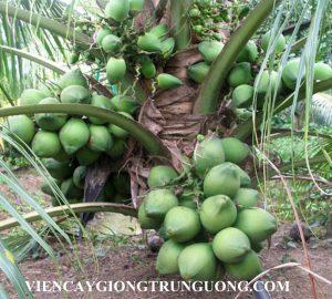 Chuyên cung cấp giống dừa trồng kinh tế, cây giống dừa xiêm lùn cam kết chuẩn giống