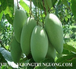 first-images-of-vietnam-mangoes-in-australia-44-.5967