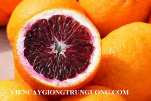 Giống cây Cam máu chuẩn giống nhập khẩu, uy tín chất lượng. Cam kết giống chuẩn đến khi cho quả