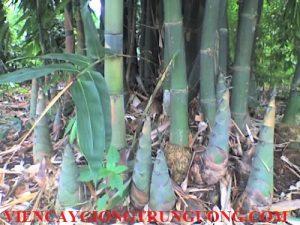 Cay-Mang-Bat-Do-4