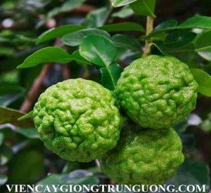 Kaffir_Lime_Citrus_hystrix7-600x600
