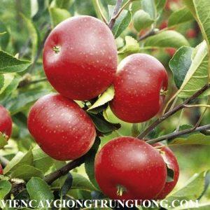 Chuyên cung cấp giống cây táo đỏ ruột đỏ chuẩn giống, uy tín, chất lượng