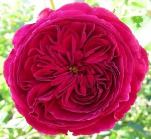 darcey-bussell31