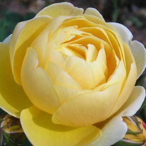 hoa-hong-leo-Charlotte-rose-4a