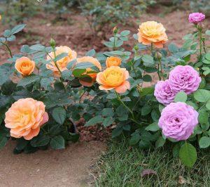 Hồng lùn, hồng siêu nụ, hồng Terrazza, hồng Tezza đẹp và nhiều nụ được Viện cây giống trung ương sỉ