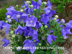 khom-hoa-cat-canh-don-platycodon-grandiflorum