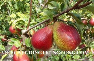Giống cây lê đỏ Nam Phi chuẩn giống nhập khẩu uy tín chất lượng