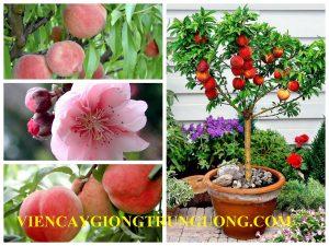 Viện cây giống trung ương chuyên cung cấp giống cây đào tiên chịu nhiệt Nhật Bản chuẩn giống