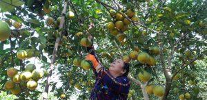 Vị ngọt cam sành Bắc Quang