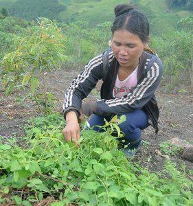 Làm giàu ở nông thôn: Ở nơi này, dân đổi đời nhờ trồng sâm