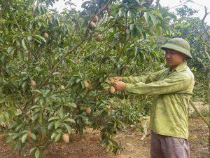 Đông Triều: Trồng hồng xiêm xoài, nông dân thu nhập cả trăm triệu đồng mỗi năm