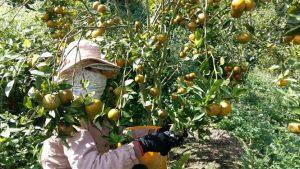 Dựng cơ nghiệp tiền tỷ nhờ 2.000 cây quýt đường