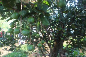 Tiềm năng phát triển cây Mắc ca ở Điện Biên