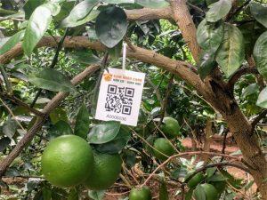Hà Nội: Hơn 10.000 cây cam được cấp 'chứng minh thư điện tử'