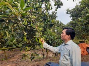 Bà Rịa-Vũng Tàu: Thu nhập cao từ trồng bơ trái vụ