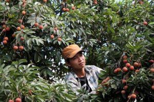 Hải Dương: Thanh Hà thúc đẩy trồng vải VietGAP