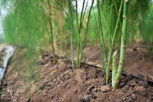 Ninh Thuận: Đất cát 'nở hoa' nhờ trồng măng tây theo công nghệ Israel