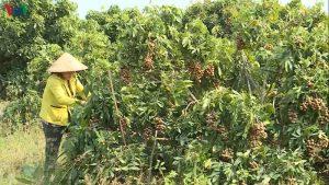 Lãi hơn tỷ đồng mỗi năm nhờ trồng nhãn trên đất cằn