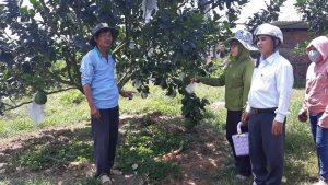 Khánh Hòa: Đưa bưởi da xanh Khánh Vĩnh thành cây trồng chủ lực