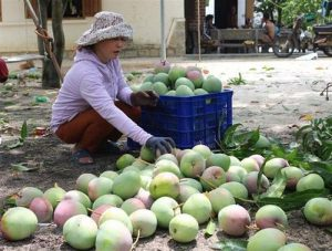 Hỗ trợ nông dân vùng 'thủ phủ xoài' tỉnh Khánh Hòa tiêu thụ nông sản