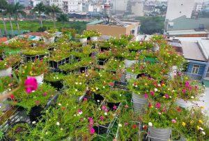 Mùa giãn cách ở nhà ngắm vườn hoa mười giờ đẹp ngất ngây trên sân thượng