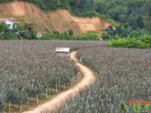 Nông dân Tây Bắc: Người trồng hoa vui vì giá hoa tăng đột biến