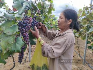 """Gia Lai: Bà nông dân U60 bỏ hàng trăm triệu """"liều"""" trồng thứ nho lạ, nhiều người kéo đến xem"""