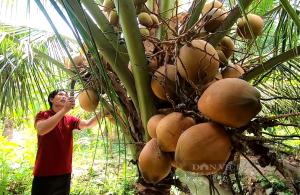 """Tiền Giang: Trồng thứ dừa tuy trái """"nhỏ nhưng có võ"""", mỗi năm ông nông dân đút túi tiền tỷ"""