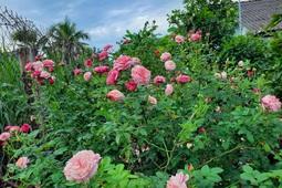 Chàng nhân viên IT nghỉ việc về trồng thanh long, chăm vườn hồng rực rỡ