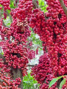 Loại quả đỏ rực mọc đầy cây không ai hái, bỗng hút khách du lịch nườm nượp đến mua